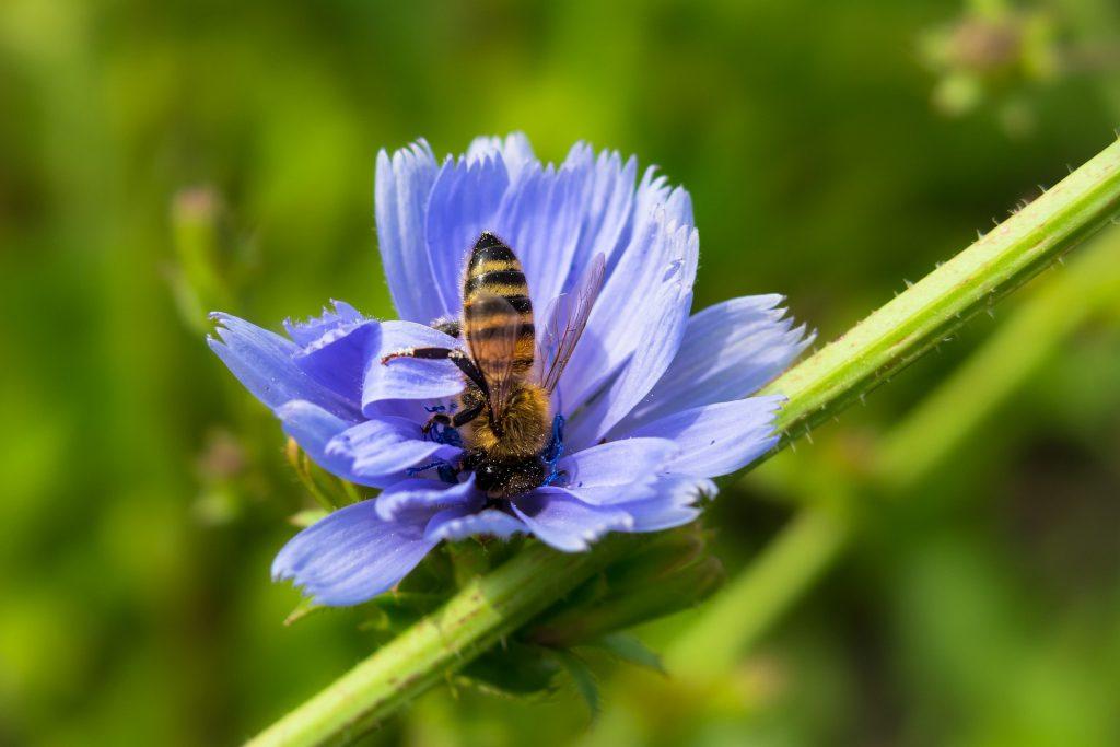 Zichorie mit Biene