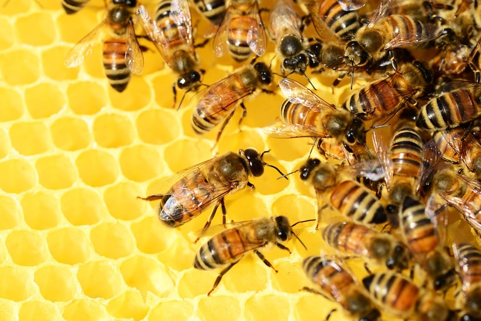 Honigwaben mit Bienen