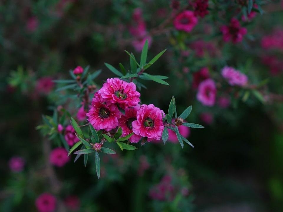 Manuka Pflanze