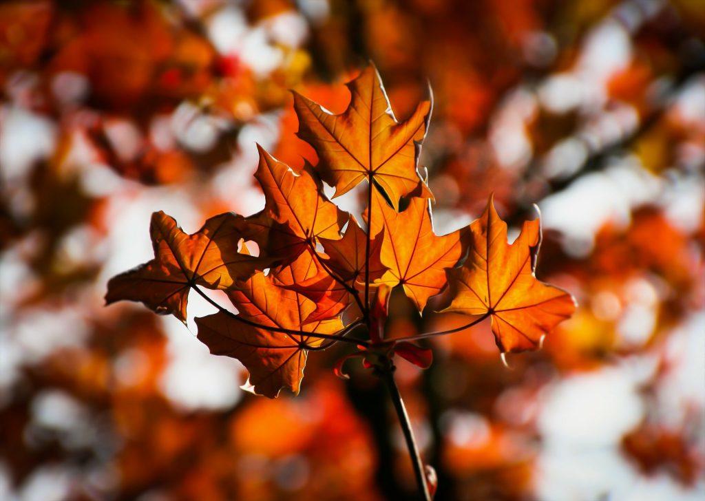 Ahornbaum mit Blätter