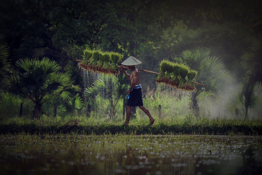 Reisabbau mit Arbeiter
