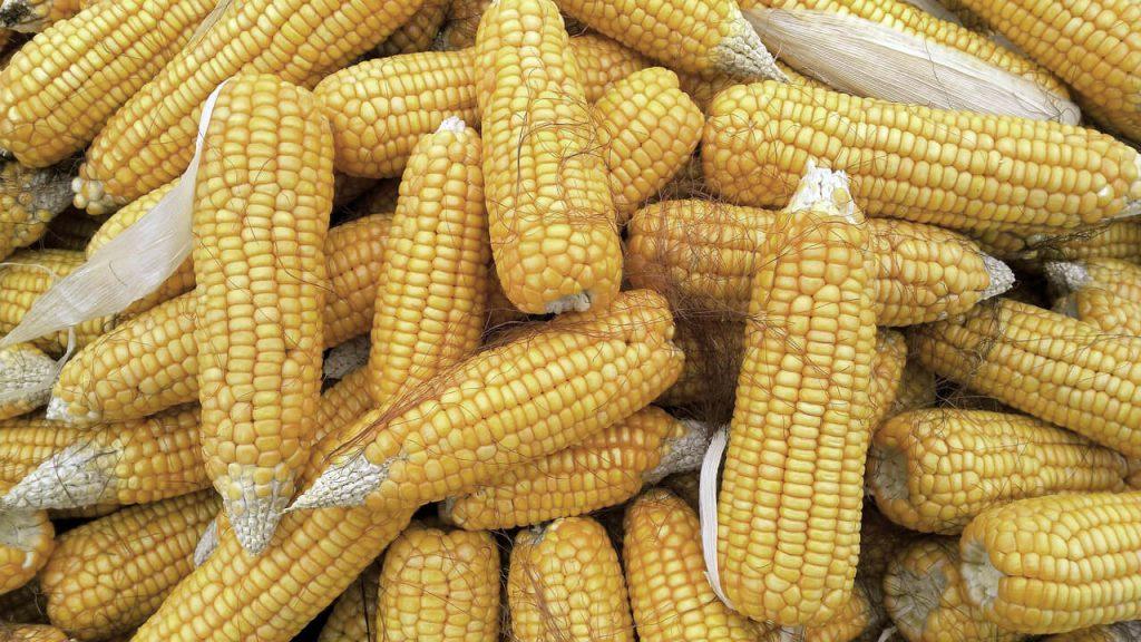 Maiskolben auf einem Haufen