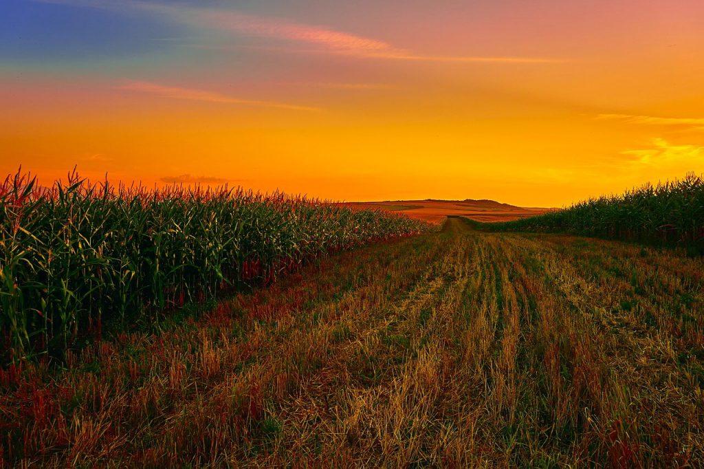 Maisfeld mit Sonnenuntergang